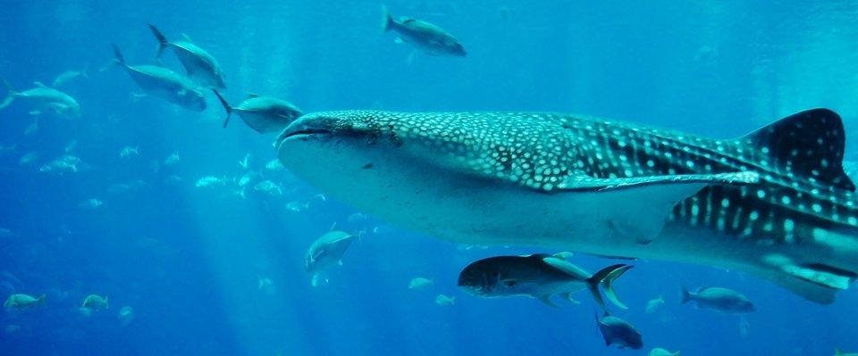 rsz_whale-shark-281497_1280