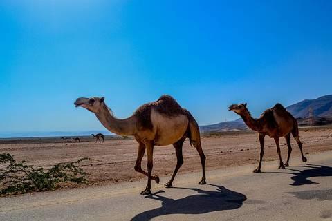 rsz_camel-468096_640