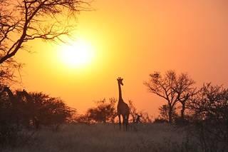 rsz_giraffe-1042618_640